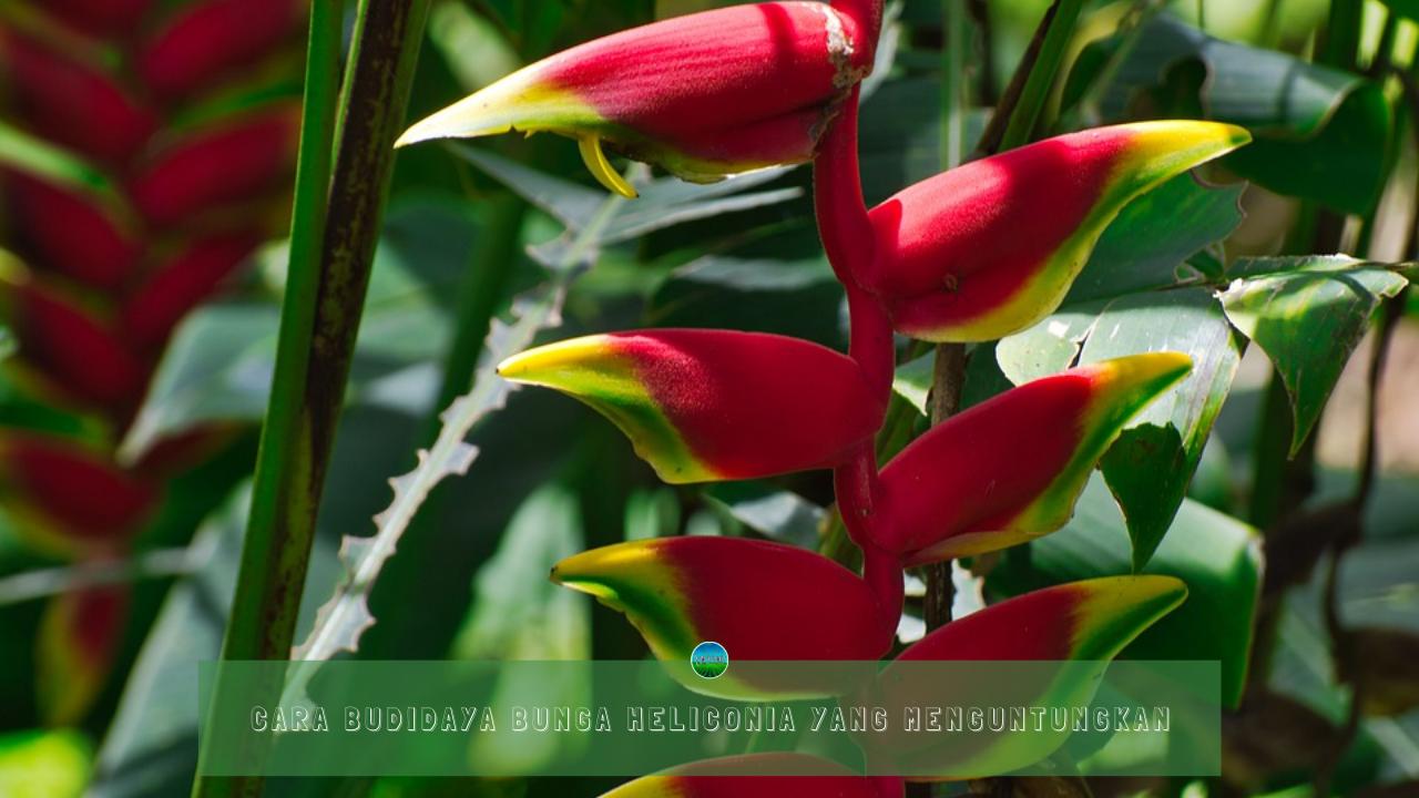 Cara Budidaya Bunga Heliconia yang Menguntungkan