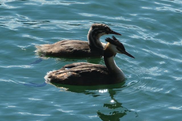 Tegernsee ducks