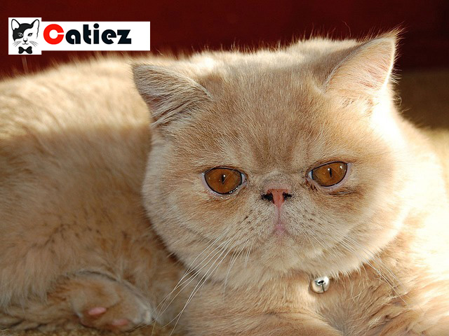 Exotic Cat - all you want to know about Exotic Cats