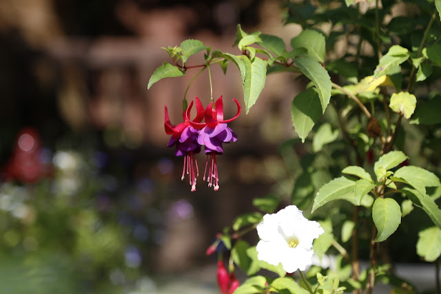 Pink & Purple Hardy Fuchsia Flowers Hanging in Sunshine
