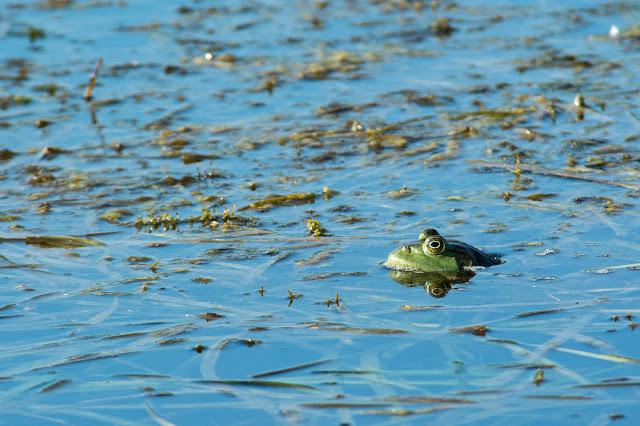 American Bullfrog, LLELA