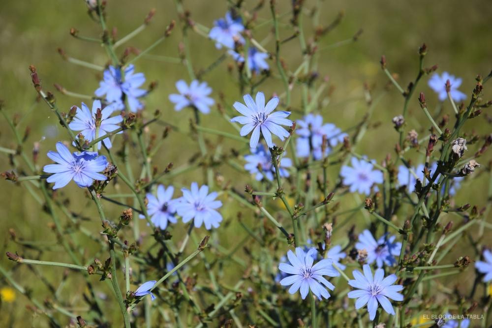 Flores azules de achicoria (escarola)