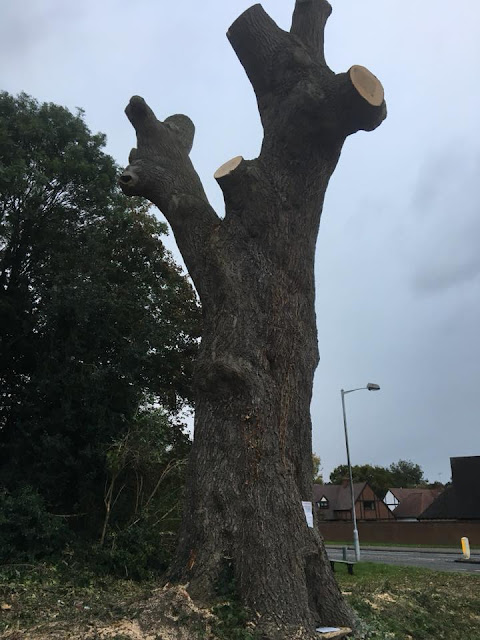 Ash tree with branches removed