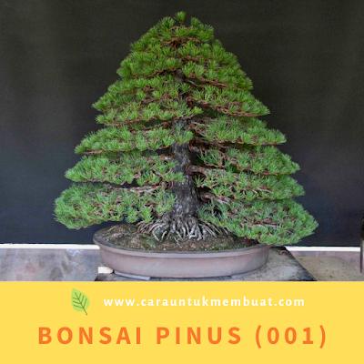 Bonsai Pinus (001)