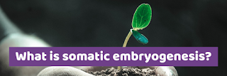 What is somatic embryogenesis