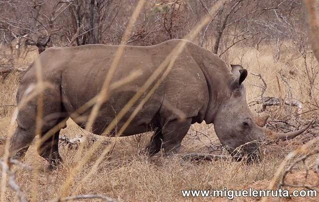 Rinoceronte-blanco-Berg-En-Dal