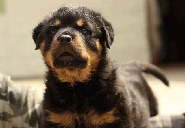 rottweiler puppy price in bareilly, rottweiler puppy sale bareilly, rottweiler puppy Purchase bareilly, rottweiler dog purchase bareilly, rottweiler dog sale bareilly