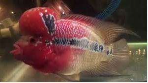 Ikan Louhan Termahal marking kepala