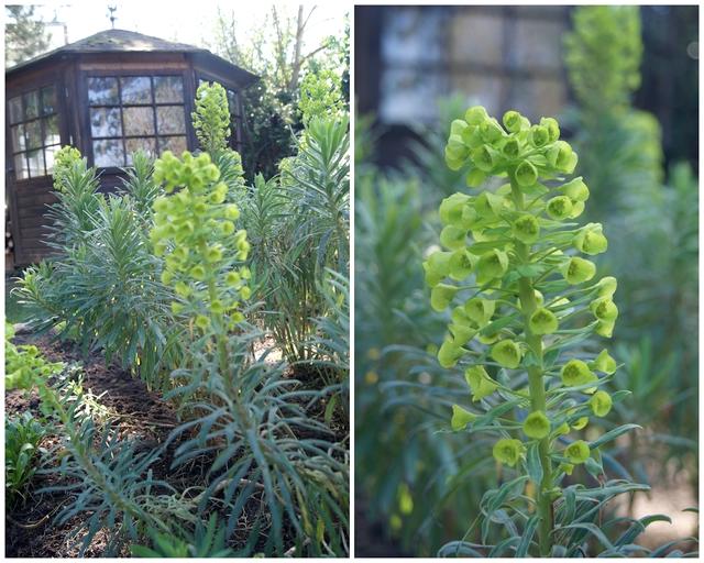 Palisaden Wolfsmilch Euphorbia characias Blütenstände im April