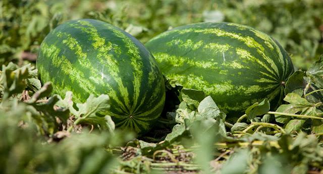 خطوات تساعدك على اختيار البطيخ الناضج