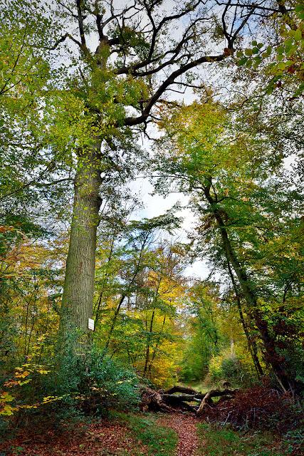Le Gros Fouteau, chêne d'Etienne Jamin, Forêt de Fontainebelau.