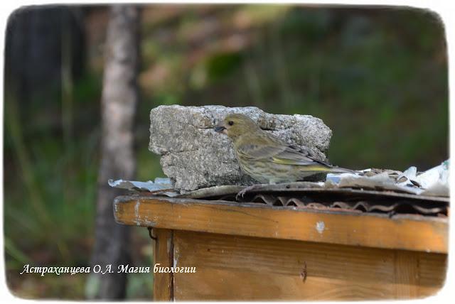 зленушка, молодая птица на кормушке, магия биологии