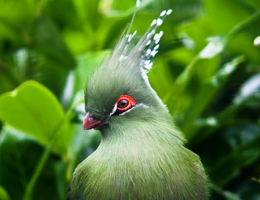 The Schalow's turaco (Tauraco schalowi)