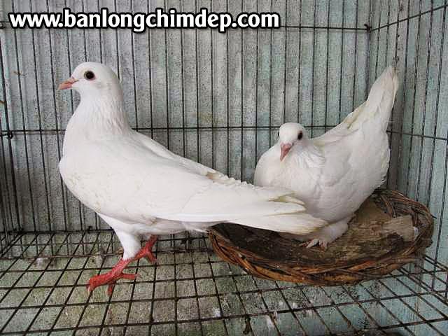 chim bồ câu, lồng chim bồ câu biên hòa