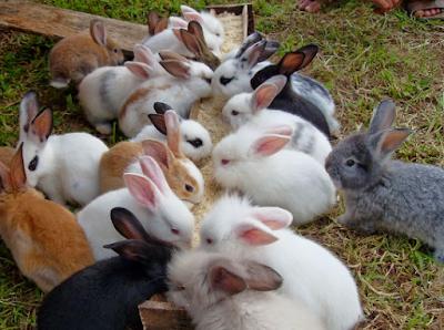 Tips Memberi Makan Anakan Kelinci Agar Tetap Sehat