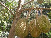 Tips Sukses Budidaya Pohon Durian, Mengetahui Jenis Dan Cara Merawatnya