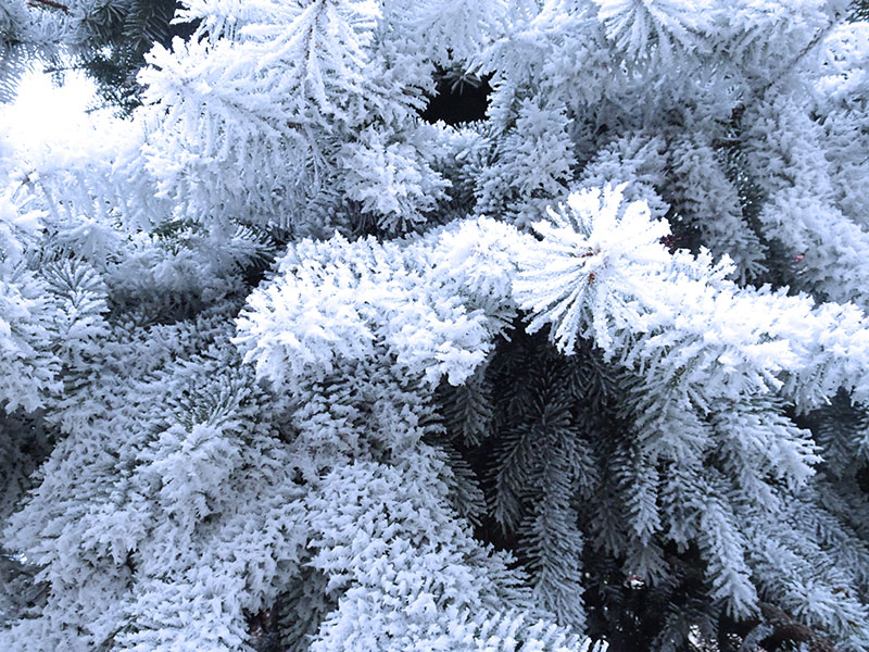 Frosted_trees_Cold_Nature