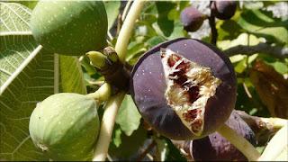 gambar buah ara, tin