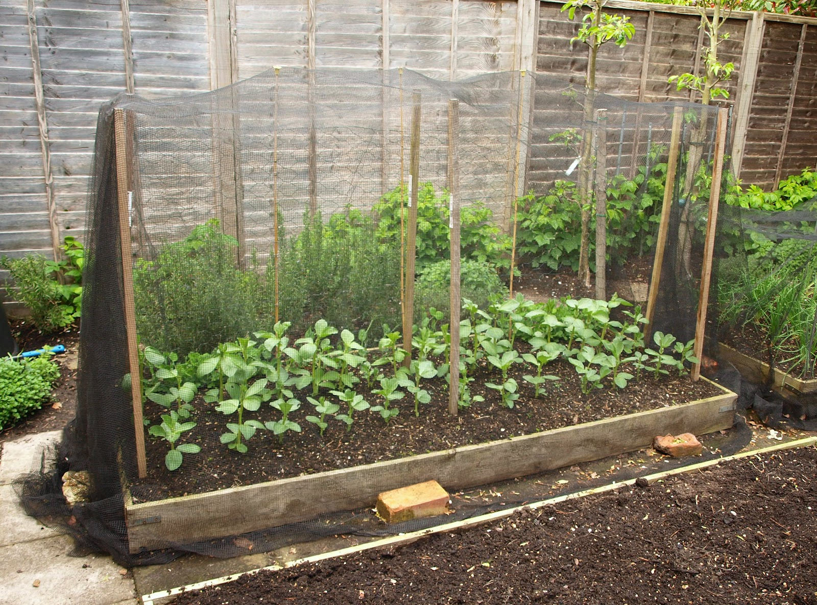 Mark's Veg Plot: Broad Beans