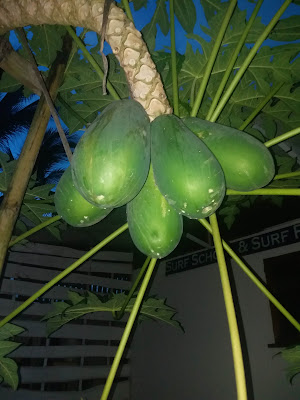 עץ פאפאיה