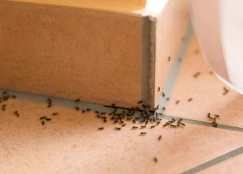 10 Cara Alami Membasmi Semut di Rumah Dengan Cepat