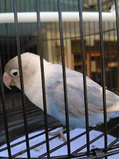 Harga lovebird pastel biru