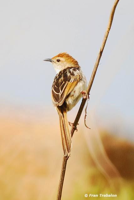 africans birds Cisticola