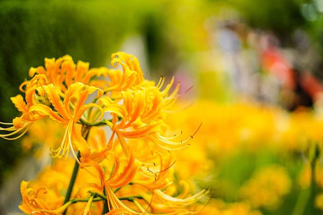 花,彼岸花,コントラスト