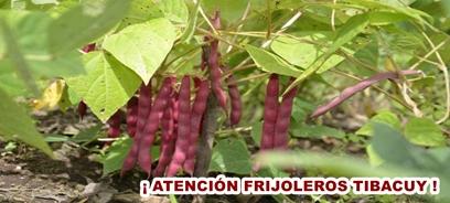 Frijoleros Tibacuy