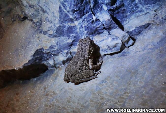 frog in gua kelam perlis