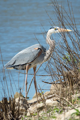 Great Blue Heron, Hagerman NWR