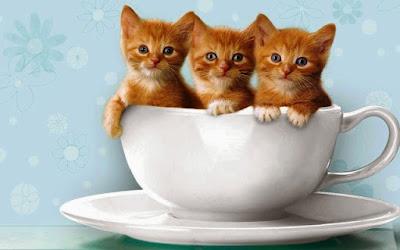 Wallpaper Kucing Lucu Dalam Cangkir
