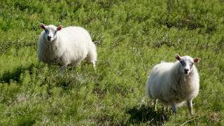Icelandic Sheeps