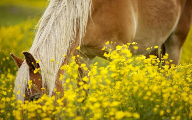 Bruin paard lekker aan het eten tussen de gele bloemen