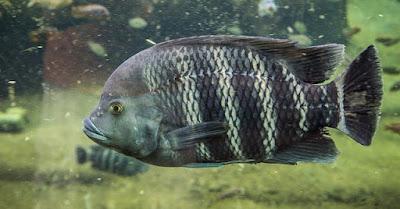 Ikan Ninety Nine