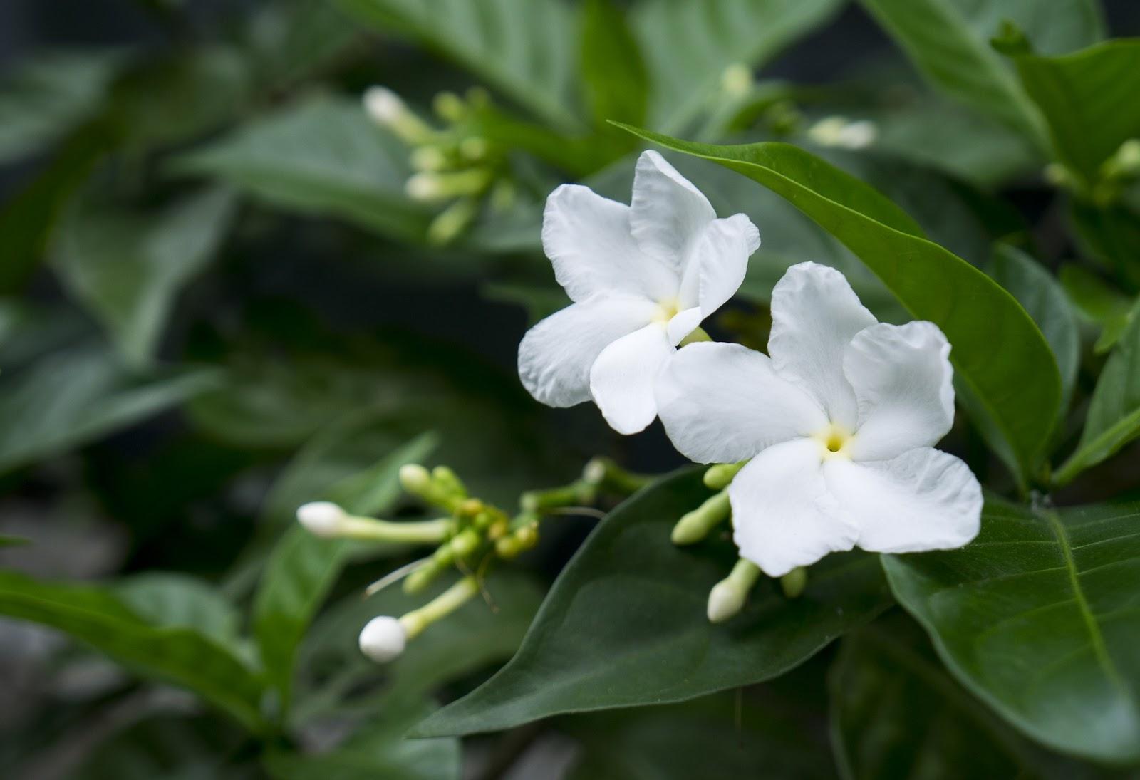 Gambar bunga Melati Casablanca