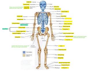 Fungsi Rangka Manusia dan Bagian-Bagian Rangka Manusia