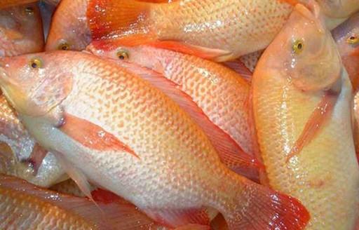 5 Racikan Umpan Ikan Mas Air Hijau Yang Jitu Resep Umpan Ikan