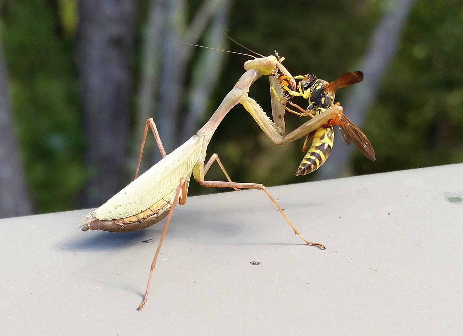 Hornet Vs Praying Mantis The Riverbank N...
