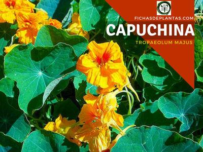 Capuchina planta comestible para mejorar la salud en casa