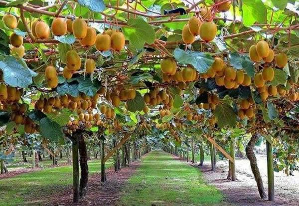 Kiwifruit farm