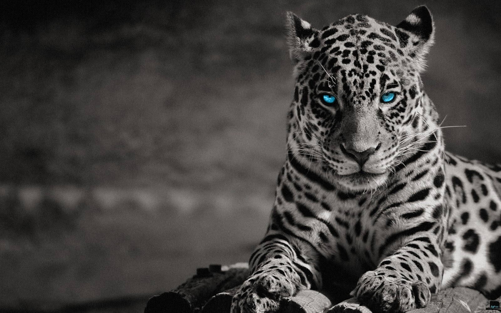 angry white tiger blue eyes - photo #16