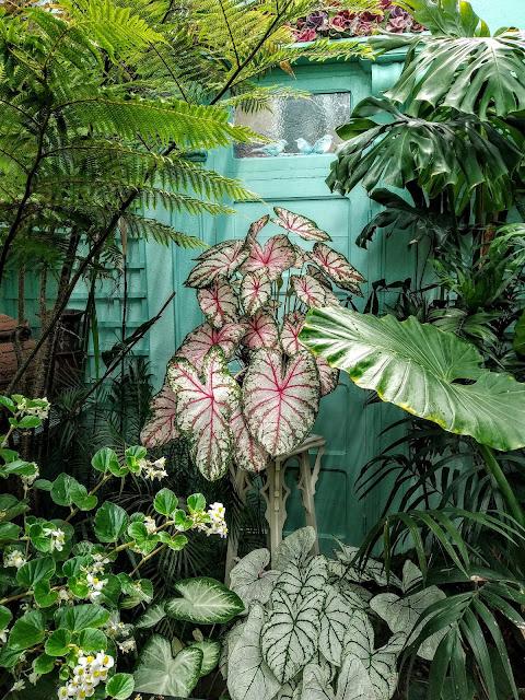 Caladium - le genre, espèces, hybrides et cultivars IMG_20190729_161629