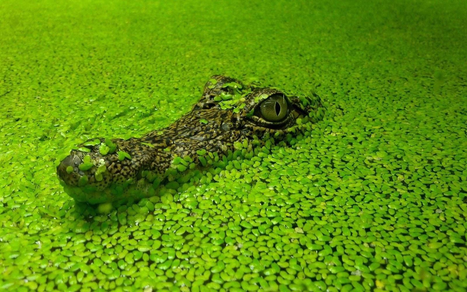 Alligator Wallpapers  1920x1200