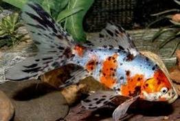 Jenis Ikan Koki Shubukin