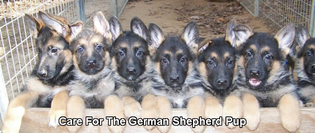 Care For The German Shepherd Pup