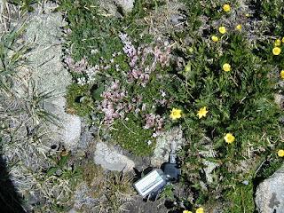 Acomastylis rossii turbinata, Tundra Communities, Rocky Mountain National Park
