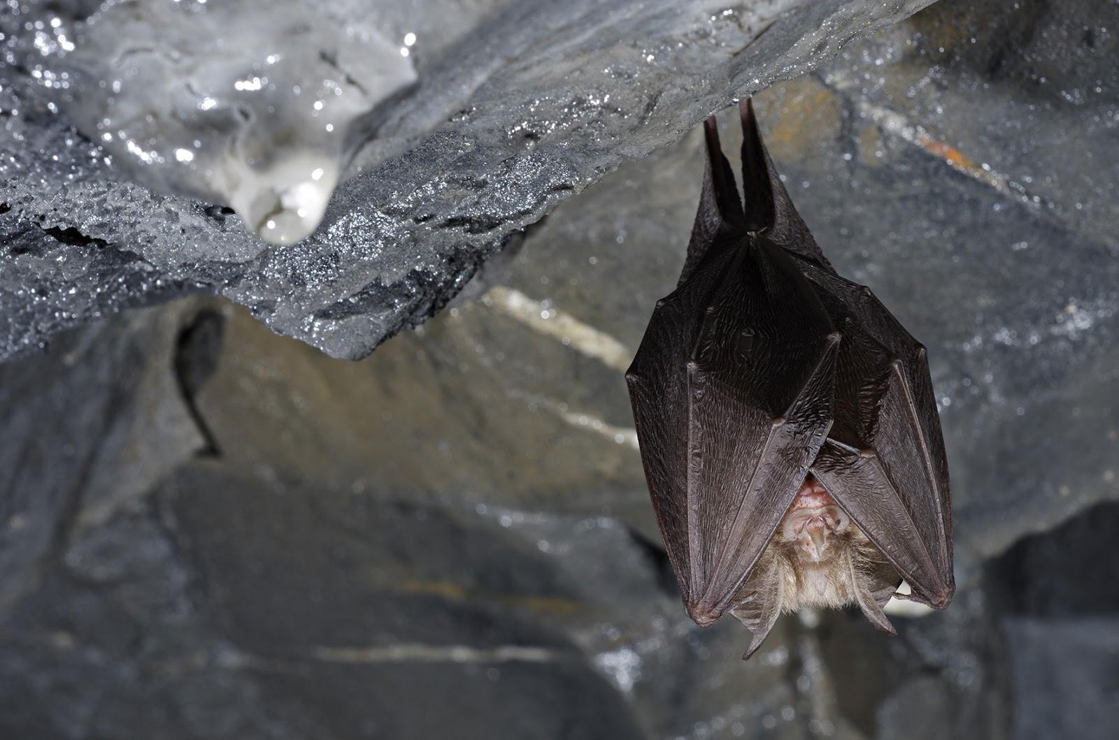 Murciélago de herradura pequeño Marco Maggesi
