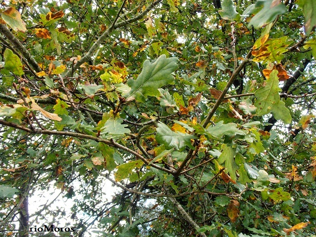 ROBLE: Quercus robur