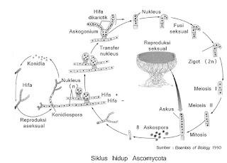 gambar siklus hidup ascomycota